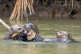 Giant Otter (Pteronura brasiliensis) family_Cuiaba river, south of Porto Jofre (Mato Grosso)