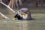 Giant Otter (Pteronura brasiliensis)_Cuiaba river, south of Porto Jofre (Mato Grosso)