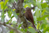 Straight-billed Woodcreeper (Dendroplex picus)_along the Transpantaneira road, south of Poconé (Mato Grosso)