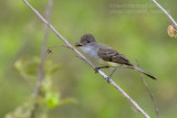 Brown-crested Flycatcher (Myarchus tyrannulus)_along the Transpantaneira road, south of Poconé (Mato Grosso)