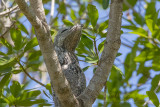Great Potoo (Nyctibius grandis) at roosting site_near Pouso Alegre Lodge, south of Poconé (Mato Grosso)