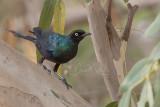 Long-tailed Glossy Starling (Lamprotornis caudatus)_La Somone (Senegal)