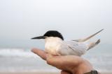 Roseate Tern (Sterna dougallii)_La Somone Estuary (Senegal)