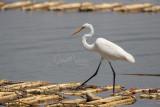 Great Egret (Egretta alba)_La Somone Estuary (Senegal)