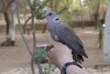 African Mourning Dove (Streptopelia decipiens)_La Somone (Senegal)