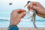 Little Tern (Sternula albifrons) with Carpenter Bee_La Somone Estuary (Senegal)