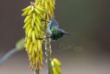 Beautiful Sunbird (Cinnyris pulchellus)_La Somone (Senegal)