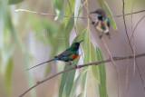 Beautiful Sunbirds (Cinnyris pulchellus)_La Somone (Senegal)