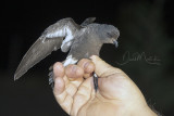 European Storm-Petrel (Hydrobates pelagicus)_south of La Somone (Senegal)