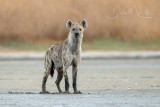 Spotted Hyena (Crocuta crocuta)_south of La Somone (Senegal)