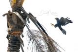 Grey Kestrel (Falco ardosiaceus)_south of La Somone (Senegal)