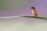 Malachite Kingfisher (Alcedo cristata)_Golf de Saly_Saly (Senegal)