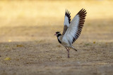 Black-headed Lapwing (Vanellus tectus)_Golf de Saly_Saly (Senegal)