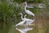 Great, intermediate and Little Egrets (Egretta alba, intermedia, garzetta)_Golf de Saly_Saly (Senegal)
