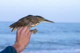 Striated Heron (Butorides striata)_La Somone Estuary (Senegal)