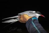 Common Tern (Sterna hirundo)_La Somone Estuary (Senegal)