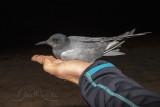Black Tern (Chlidonias niger)_La Somone Estuary (Senegal)