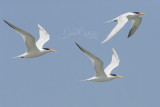 Royal Terns (Thallasseus maxima)_La Somone Estuary (Senegal)