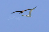 Yellow-billed Kite (Milvus parasitus) and Royal Tern (Thallasseus maxima)_La Somone Estuary (Senegal)