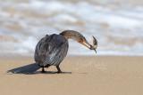 Long-tailed Cormorant (Microcarbo africanus)_La Somone (Senegal)