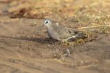 Black-billed Wood Dove (Turtur abyssinicus)_La Somone (Senegal)