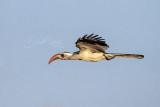 Western Red-billed Hornbill (Tockus kempi)_La Somone (Senegal)