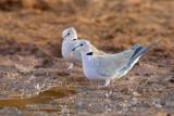 Vinaceous Doves (Streptopelia vinacea)_La Somone (Senegal)