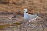 Vinaceous Dove (Streptopelia vinacea)_La Somone (Senegal)