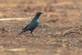 Greater Blue-eared Starling (Lamprotornis chalybaeus)_La Somone (Senegal)