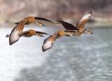 Whistling West Indian Whistling-Ducks (Dendrocygna arborea)
