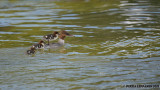 Goosander mum taking the chicks for a ride