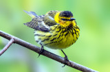 Cape May Warbler, Magee Marsh, Ohio