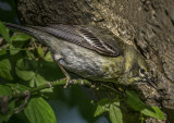 Pine Warbler (immature female), Magee Marsh, OH