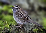 White-throated Sparrow, Magee Marsh, OH