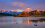 Canada Geese at Oxbow Bend, Grand Teton National Park, WY