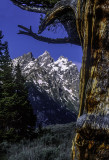 Limber Pine tree known s the Patriarch at Grand Teton National Park, WY