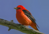 Scarlet Tanager, Magee Marsh, Ohio