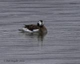 Long-tailed Duck, female, Bald Eagle SP, PA