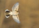 Northern Shrike ( Pie-grièche grise ) Juvénile