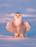 Snowy Owl ( Harfang des neiges )