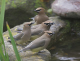 Five Cedar Waxwings