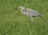 Great Blue Heron and gopher #1
