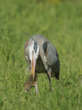 Great Blue Heron and gopher #2