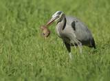 Great Blue Heron and gopher #3
