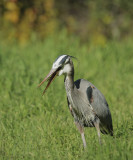 Great Blue Heron and gopher #4