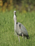 Great Blue Heron and gopher #5