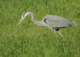 Great Blue Heron and gopher #0