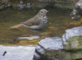 Hermit Thrush, bathing