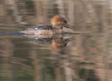 Hooded Merganser, first-cycle male