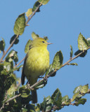 Orange-crowned Warbler, male